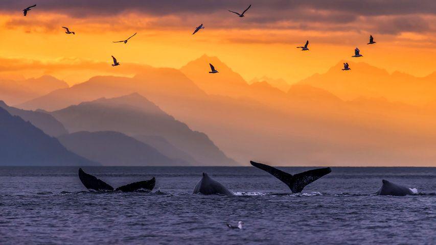 「ザトウクジラの尾びれ」米国アラスカ州, リン運河