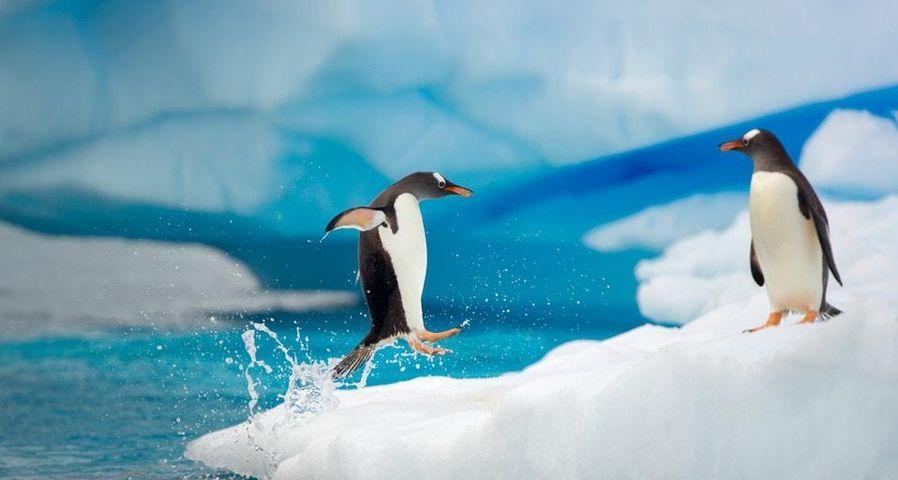 Gentoo penguins in Gerlache Strait, Antarctica