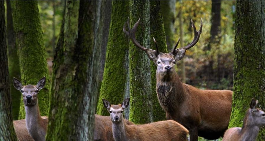 A red deer stag stands among females in the woods at the Eekholt game park – Christian Hager/dpa ©