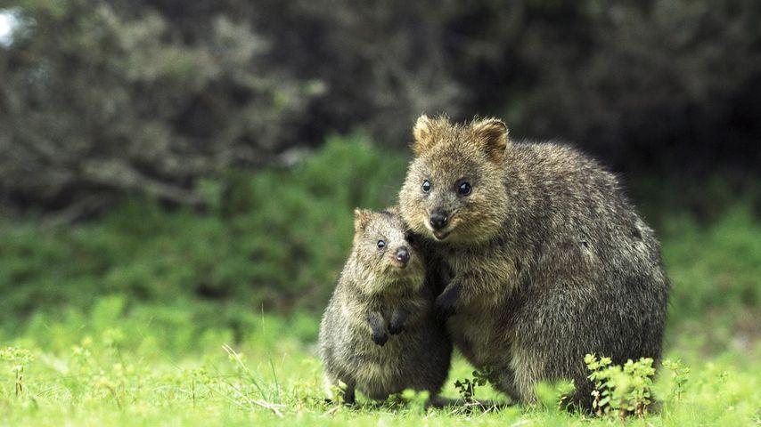 Quokka mother and son on Rottnest Island, Western Australia