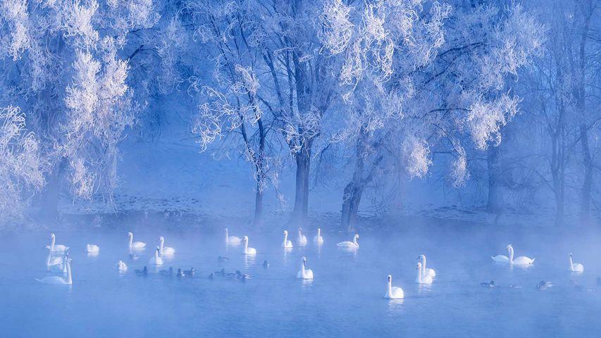 【今日冬至】湖中的天鹅,中国新疆伊犁州
