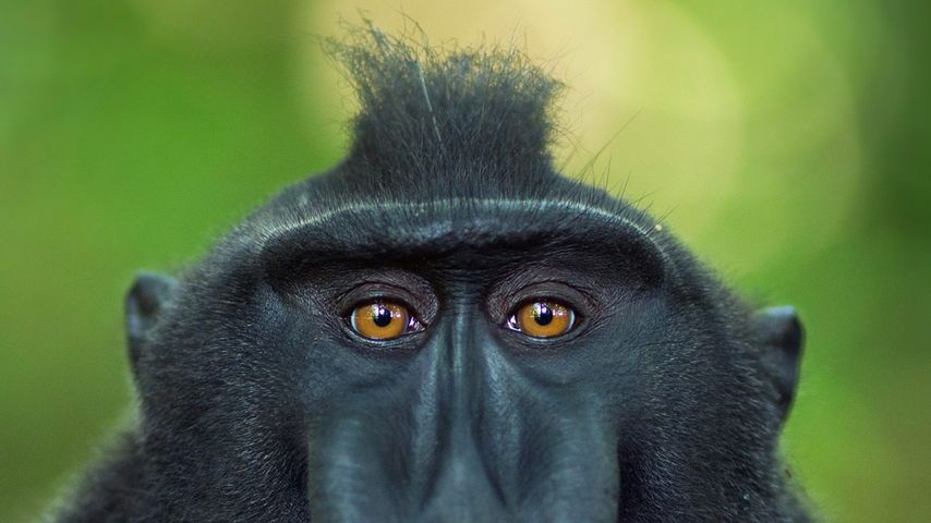 Celebes crested macaque mature male, Tangkoko National Park, Sulawesi, Indonesia