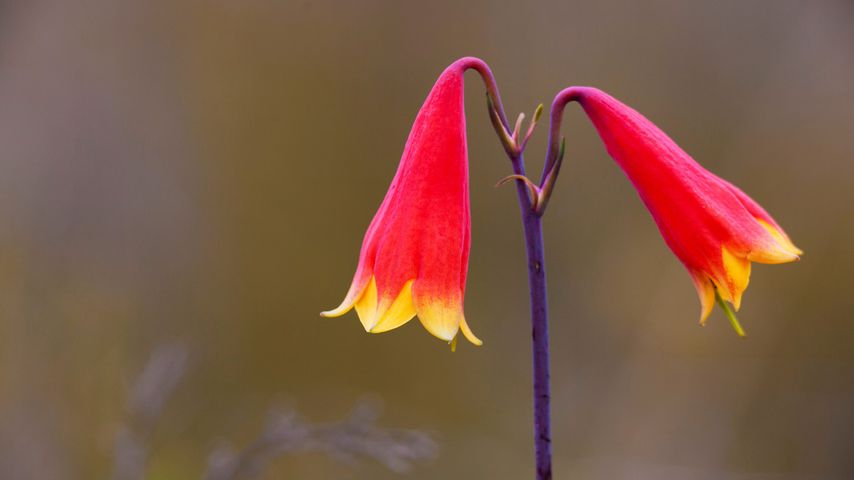 Large-flowered Christmas Bell at Gibraltar Range National Park in New South Wales, Australia