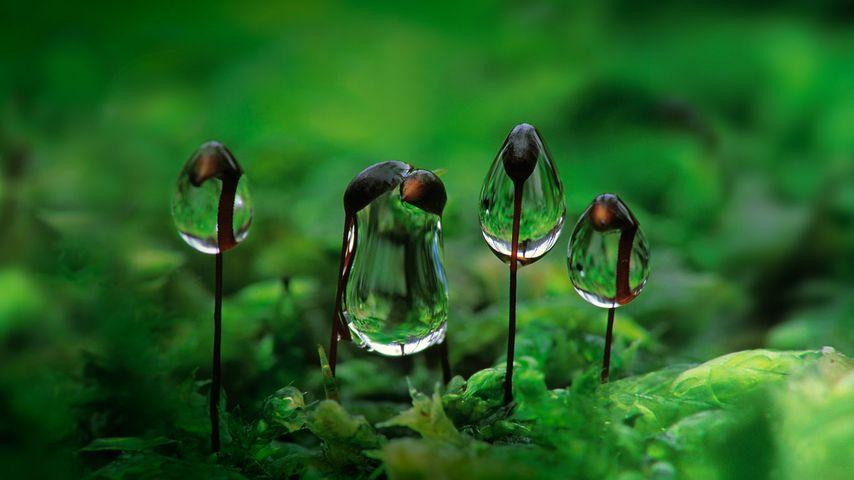 Wassertropfen hängen an Blättchen des Gemeinen Kurzbüchsenmooses
