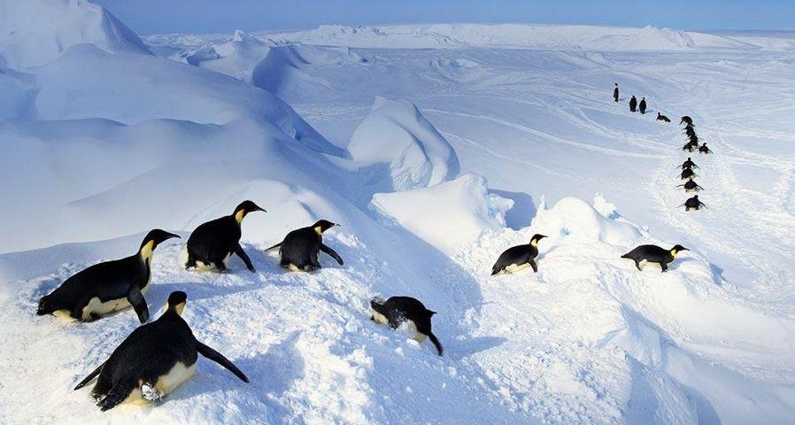 Kaiserpinguine springen aus dem Wasser, Antarktis