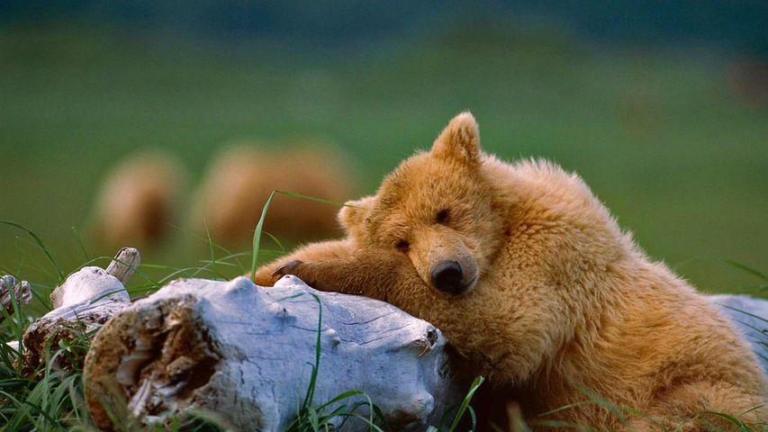 Alaska Peninsula brown bear, Katmai National Park and Preserve, Alaska