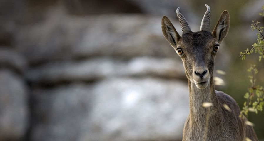 A young ibex in El Torcal Nature Reserve near Antequera, Andalucia, Spain