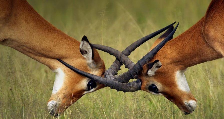 塞伦盖蒂国家公园中的黑斑羚