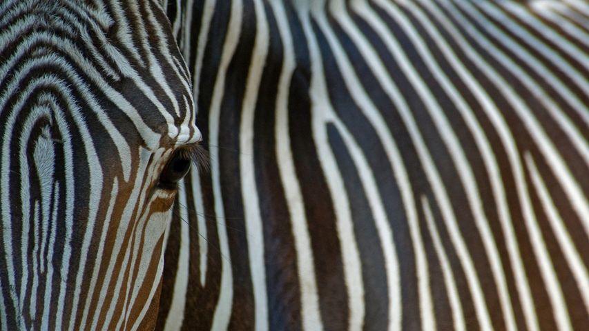 Close-up view of an endangered Grévy's zebra