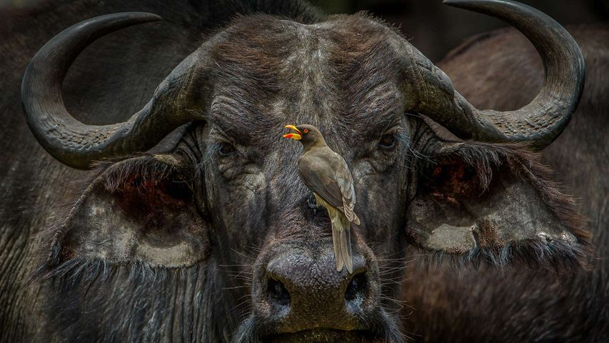 An oxpecker sits on an African buffalo in Maasai Mara National Reserve, Kenya