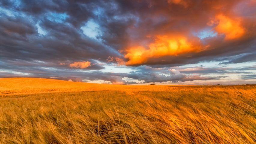 Barley field in East Lothian, Scotland