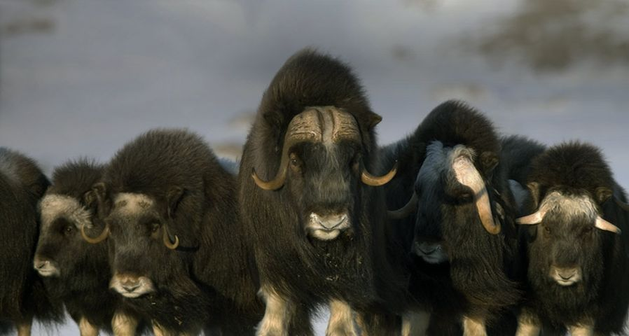 Mature & young Musk-ox bulls and cows in a defensive lineup during winter on the Seward Peninsula near Nome, Alaska, USA