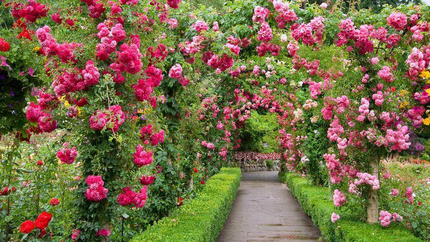 「ブッチャート・ガーデンのバラ園」カナダ, ブリティッシュコロンビア