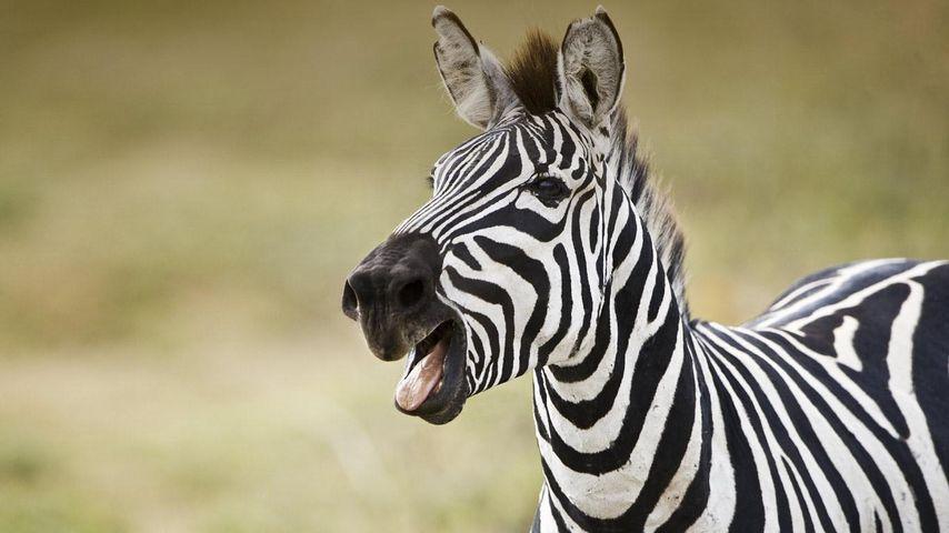 坦桑尼亚,微笑的斑马