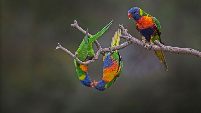 Loriquet arc-en-ciel, Werribee, Australie.