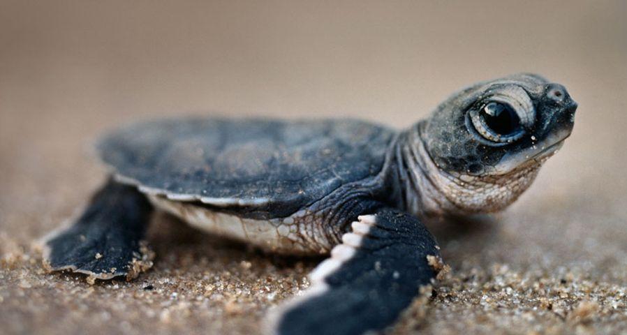 南美洲苏里南共和国,海滩上刚刚孵化出的绿海龟