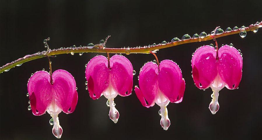 雨后的荷包牡丹花