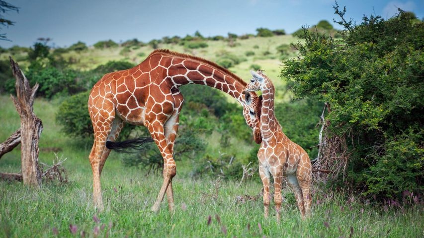 A reticulated giraffe mother nuzzles her calf in Lewa Wildlife Conservancy, Kenya