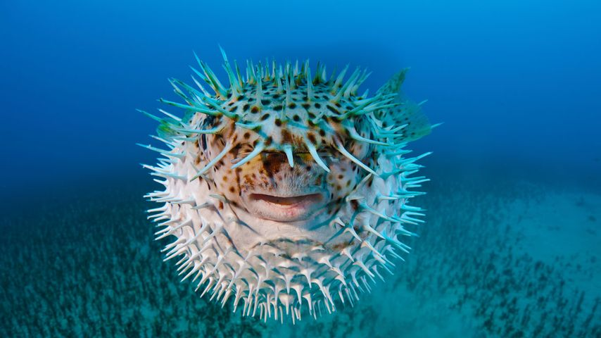 Spot-fin porcupinefish near Hawaii