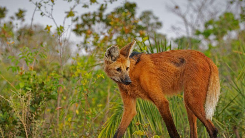 巴西皮奥伊州的鬃狼