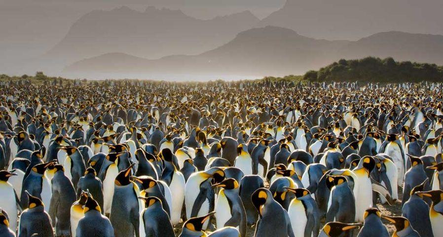南乔治亚岛的王企鹅群