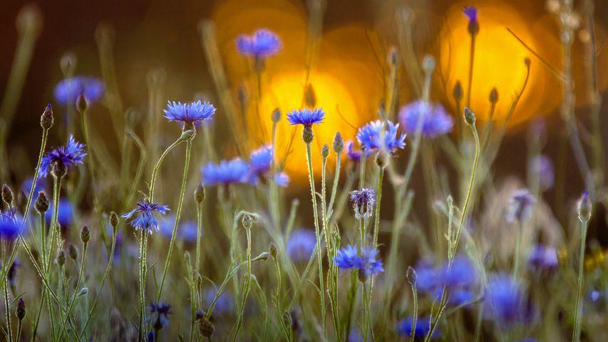 Bleuets dans un couché de soleil à l'occasion du centième anniversaire de l'Armistice qui a marqué la fin de la Première Guerre Mondiale 1914-1918