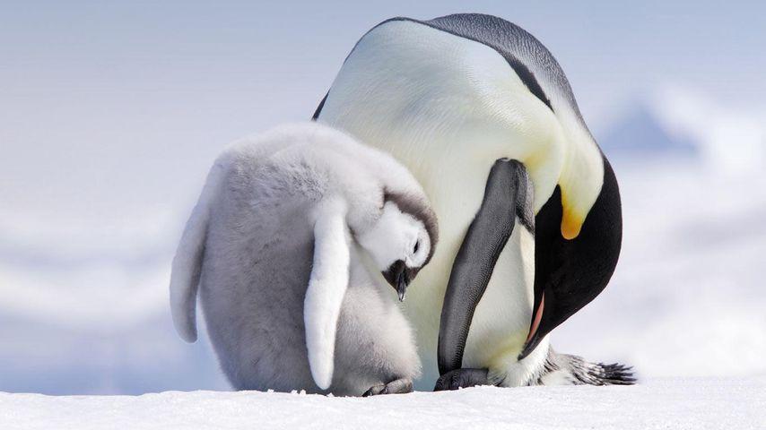 正在用喙梳理毛发的成年帝企鹅和幼崽