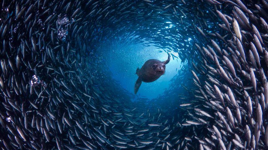 厄瓜多尔,加拉帕戈群岛,海狮游过鱼群