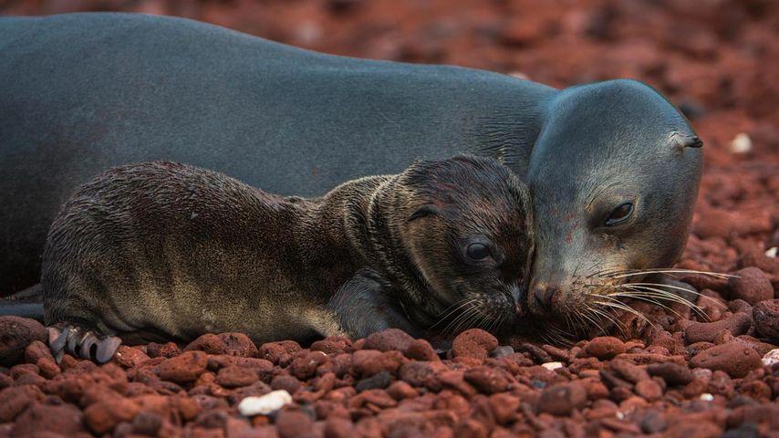 Galápagos sea lion and pup, Rábida Island, Galápagos Islands, Ecuador