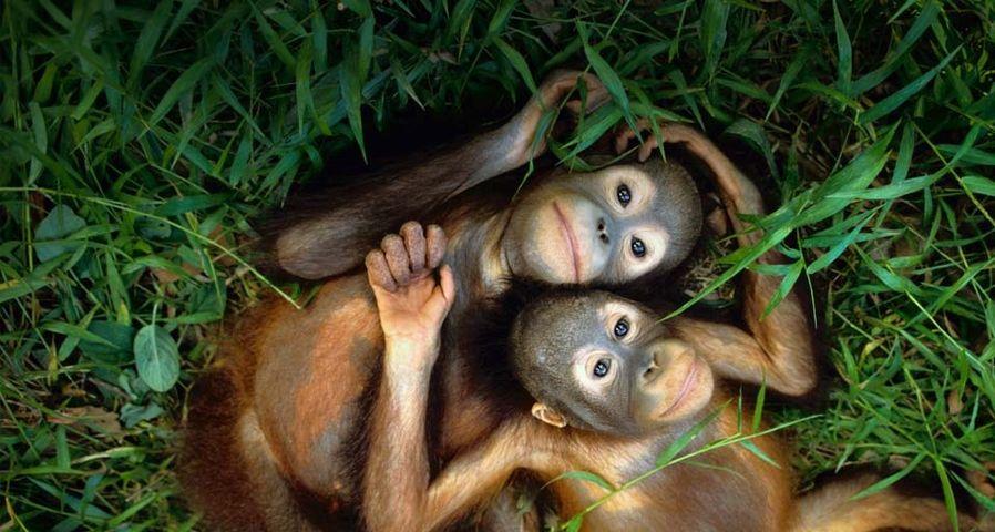 Orphaned orangutans at Sepilok Reserve, Borneo