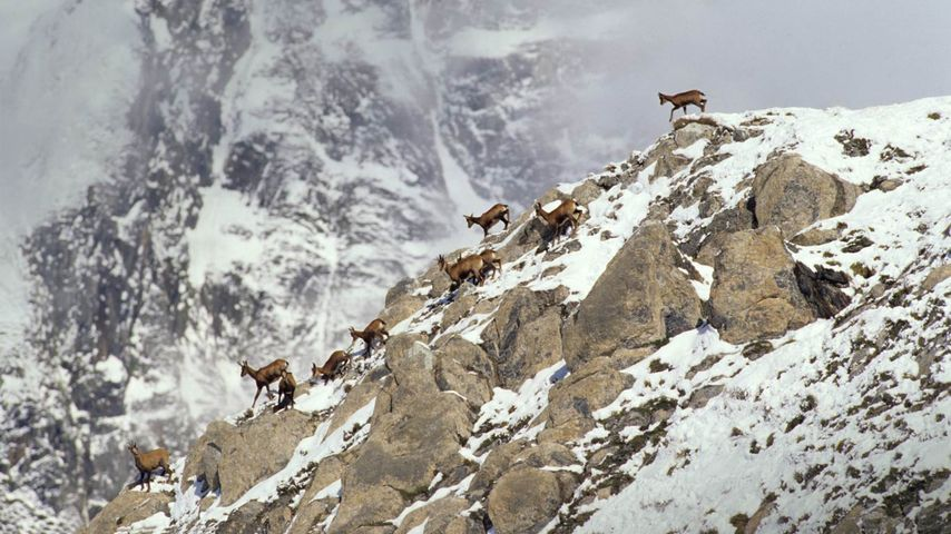 Pyrenean Chamois on rock in winter, Pyrenees, France
