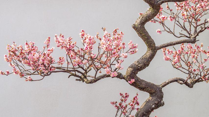 Pflaumenblüte im Frühling