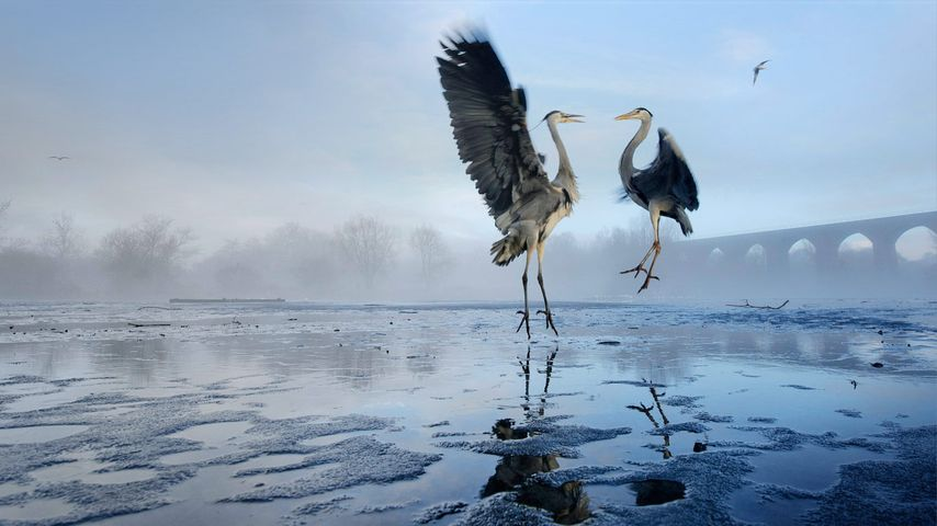 Two Grey herons (Ardea cinerea) squabbling over fish, River Tame, Stockport, Greater Manchester