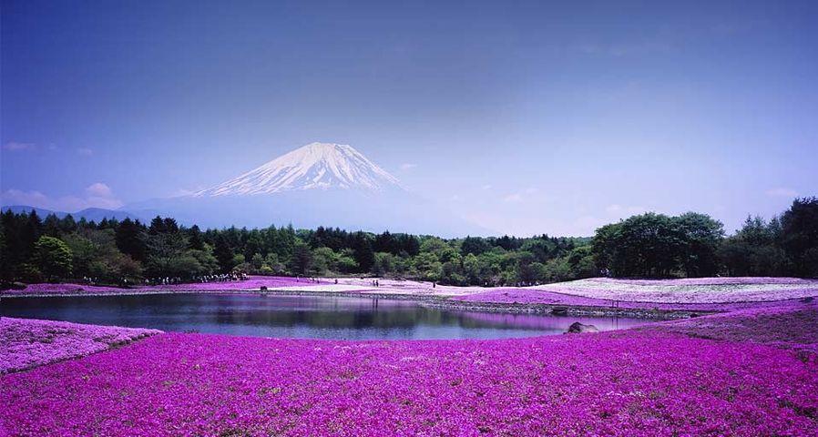 「富士芝桜まつり」山梨,河口湖町