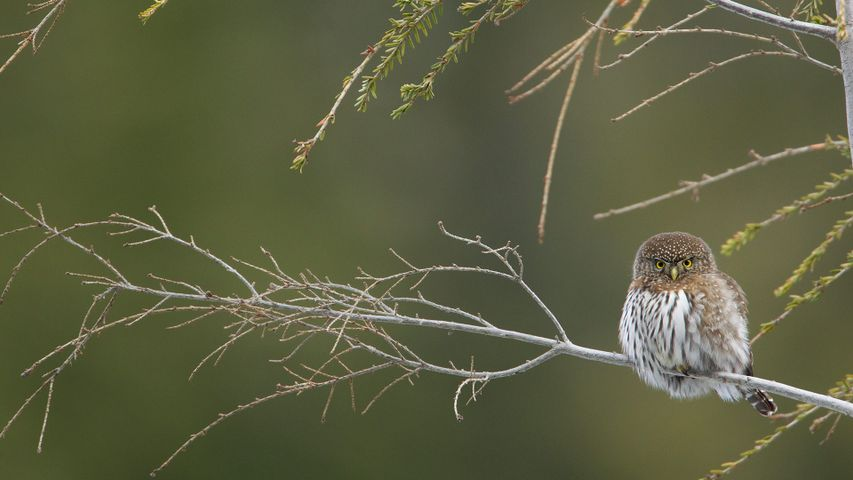 Northern pygmy owl perched on a branch, Cypress Mountain, British Columbia, Canada