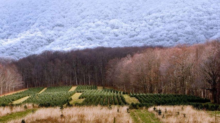 A Christmas tree farm in Zionville, North Carolina
