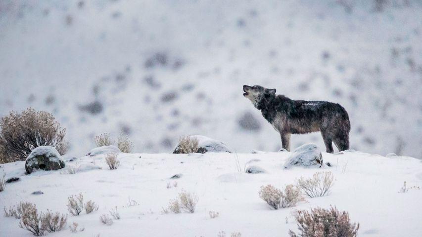 黄石国家公园内的一只灰狼,美国怀俄明州