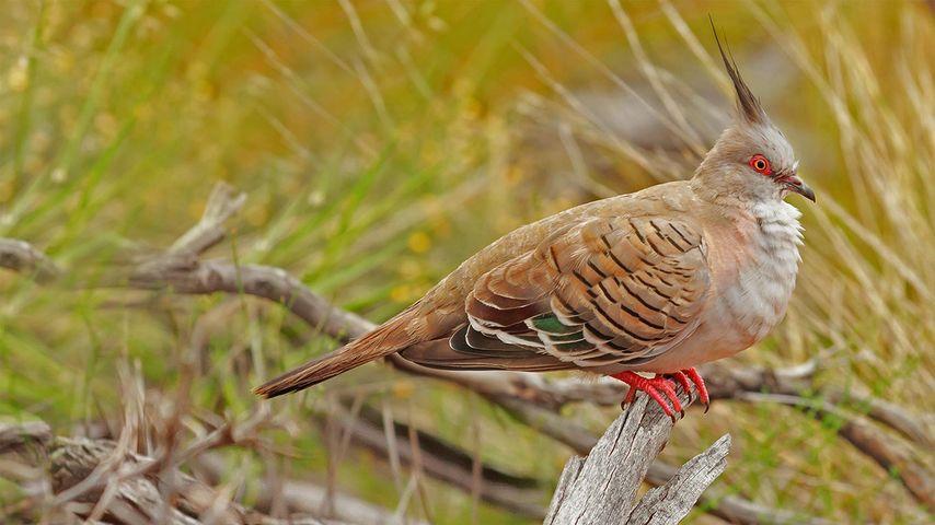 Crested pigeon in Uluṟu-Kata Tjuṯa National Park, Australia
