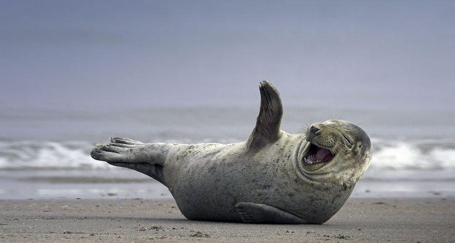 Grey seal on the beach near Helgoland, Germany