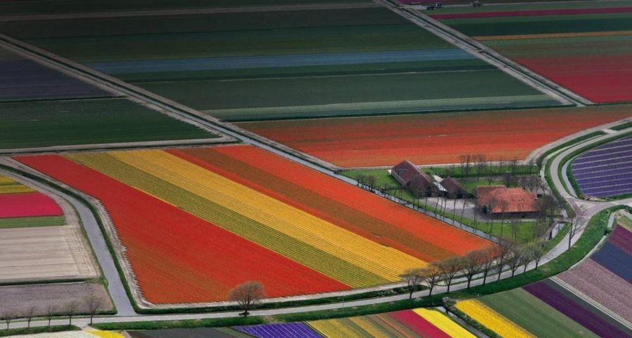 : Bunte Blumenfelder in der Nähe von Amsterdam, Niederlande – Adam Jones/Getty Images ©