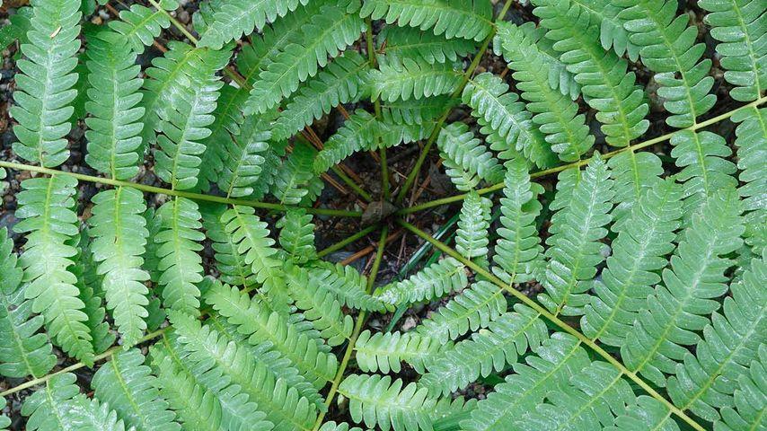 Cinnamon Fern (Osmunda cinnamomea), Canada