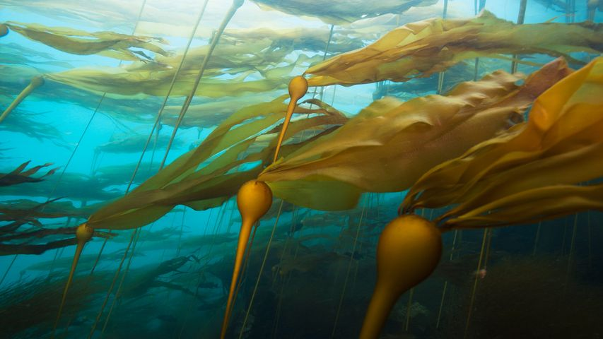 A bull kelp forest in a strong current at Hussar Point, Browning Pass, B.C.