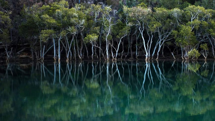 Mangroves in Garigal National Park, Sydney, New South Wales