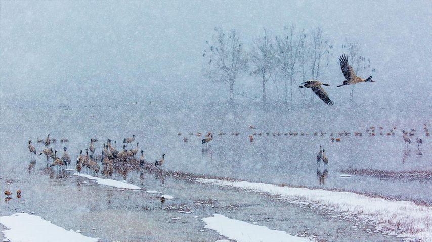 下雪了,许多黑颈鹤在雪中飞舞