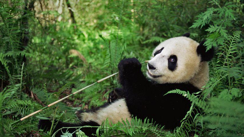 卧龙国家级自然保护区的大熊猫,中国四川