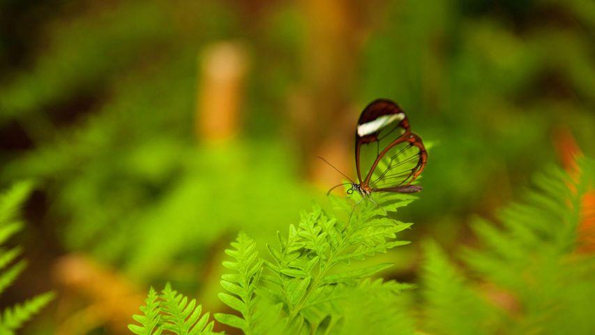 Glasflügel-Schmetterling (Greta oto)