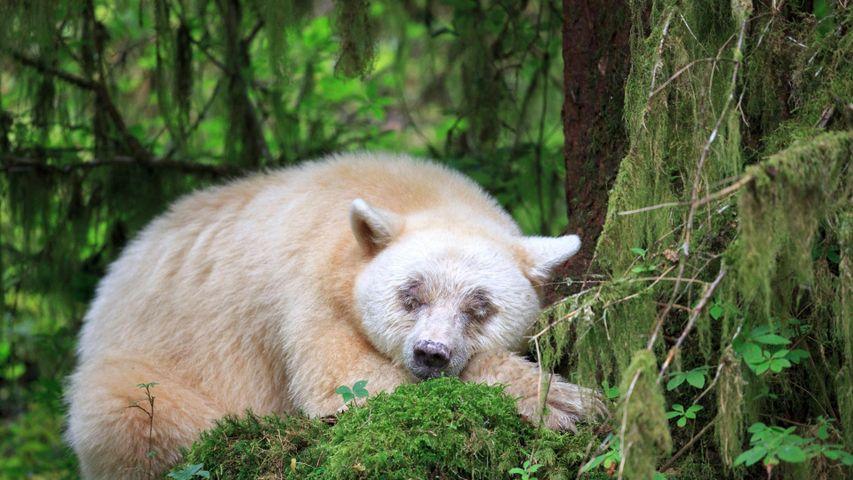 「眠るスピリット・ベア」カナダ, ブリティッシュコロンビア州