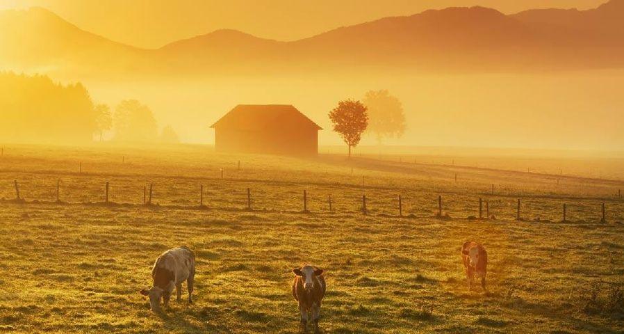 Landschaft nahe der Alpen mit Kühen im Nebel bei Sonnenaufgang - Penzberg, Bayern, Deutschland, Europa