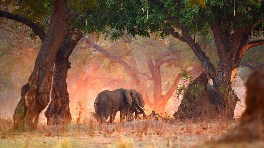 Afrikanische Elefanten im Mana-Pools-Nationalpark, Zimbabwe