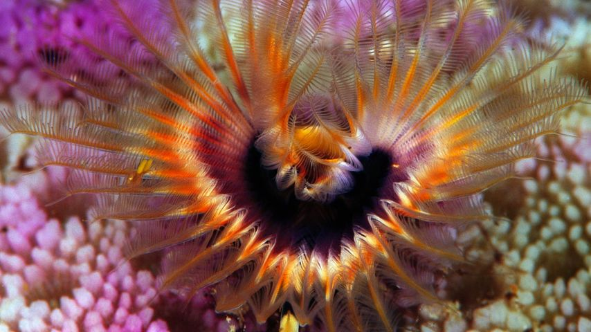 Star horseshoe worm on a hump coral reef off the Solomon Islands